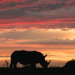 Let's help relocate rhinos to less violent pastures
