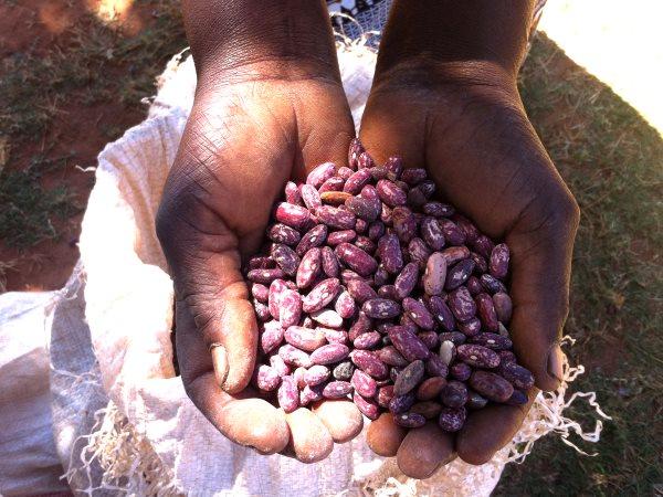 malawi seed african small farmers GMO