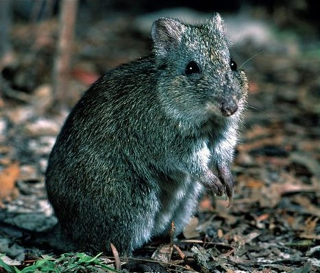 broad-faced potoroo mass extinction study2