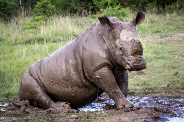 earth mass extinction rhino study