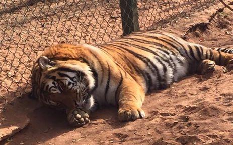 tiger Jugomaro Predator Park