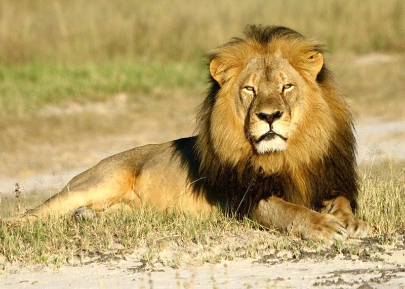 Cecil-lion-murder-wildlife-poaching-protection