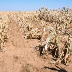 maize plants north west crops crisis drought south africa