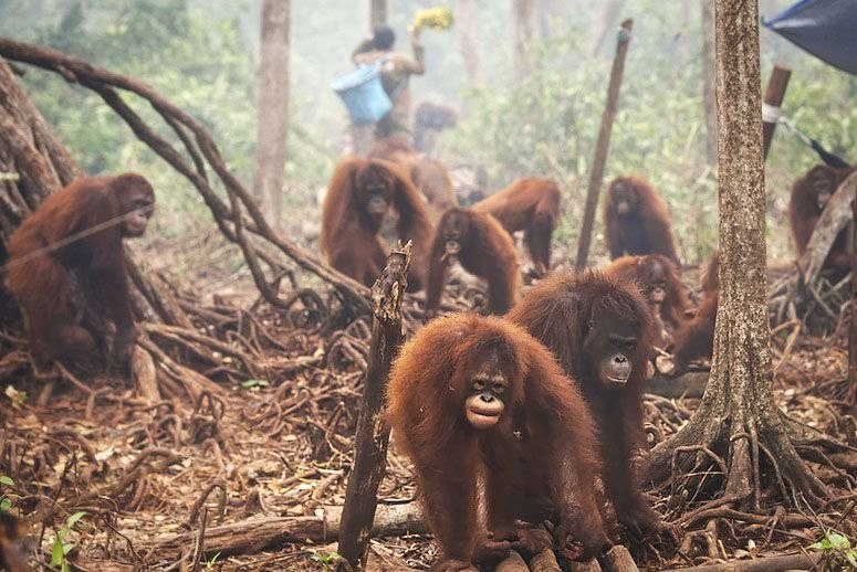 Orangutans Borneo Survival Foundation fire