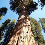 Big trees first to die in severe droughts