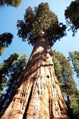 huge tree dead drought forest climate change