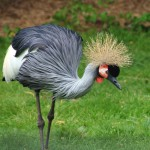 New plan to secure future for grey crowned cranes