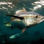 Mercury levels rising in Pacific yellowfin tuna, study says