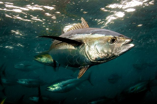 Mercury levels rising in Pacific yellowfin tuna, study says