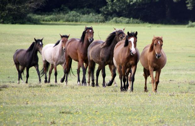 new forest horses fracking danger damage