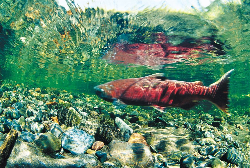 climate change no return salmon ocean damage