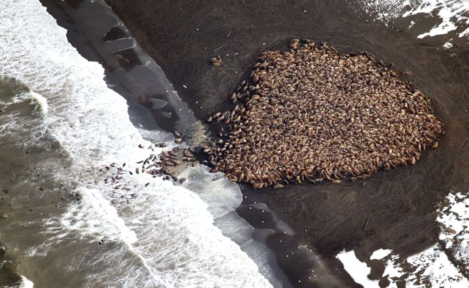 climate change no return walrus ocean damage