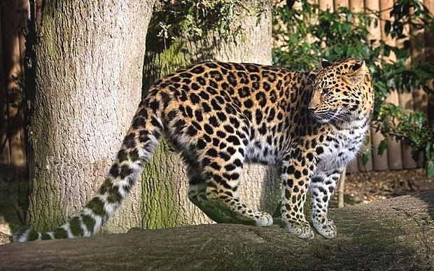 leopard endangered species protection racing extinction
