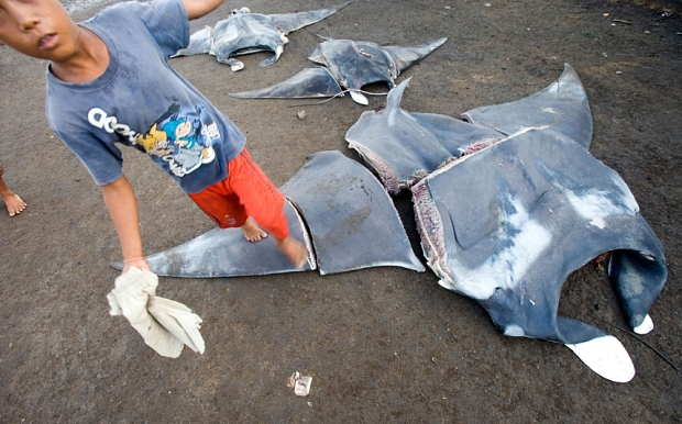 B6B0EA Manta rays are lined up at a fishing market in Indonesia.