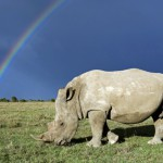 Rhino poaching stabilised in SA as threat spreads across continent