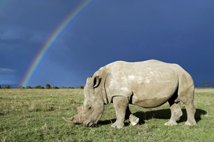 Southern white rhinoceros (Ceratotherium simum simum) with rainbow and storm clouds. Ol Pejeta Conservancy, Kenya, 2009. WWF has worked on rhino conservation since it was formed in 1961 but an increasing demand for rhino horn in Asia is fuelling a poaching crisis. Poaching gangs are becoming increasingly sophisticated. Helicopters are used to track the rhinos, and once the animals are shot with guns or tranquilising darts, their horns are removed using chainsaws, and quickly airlifted away. The whole operation can take as little as 10 minutes, and if the rhino isn't already dead, it will often be left to bleed to death. Illegal wildlife trade is a crime with wide security implications and has well documented links to other forms of illegal trafficking, the financing of rebel groups, corruption and money laundering. However the issue is primarily seen as an environmental issue, which often puts it low on governments' agendas. WWF is working with our partners at TRAFFIC to advocate for illegal wildlife trade to be given higher priority at national and international levels.