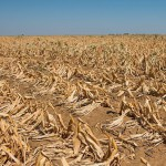 South Africa maize prices scale new peaks as drought bites
