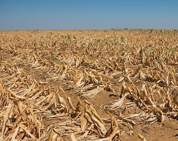 farmer maize food drought south africa