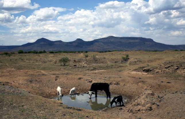 Livestock drink drying river drought water crisis south africa KwaZulu-Natal