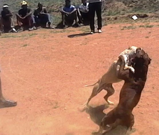 dog fighting must fall cape town green times animal welfare cruelty3