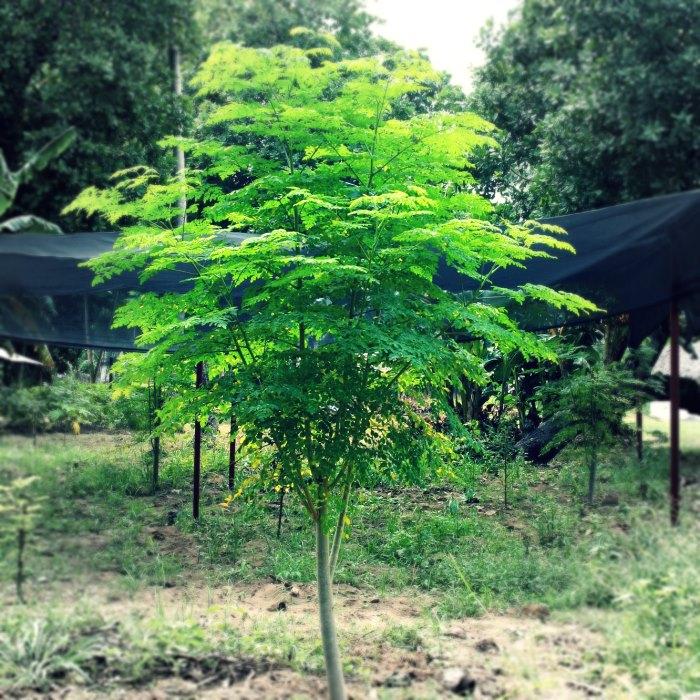 moringa-tree-indigenous_crop_africa_green_times
