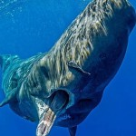 Stomachs full of plastic discovered in 13 dead sperm whales