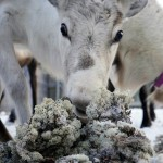 Norway's radioactive reindeer still a stark reminder of Chernobyl legacy