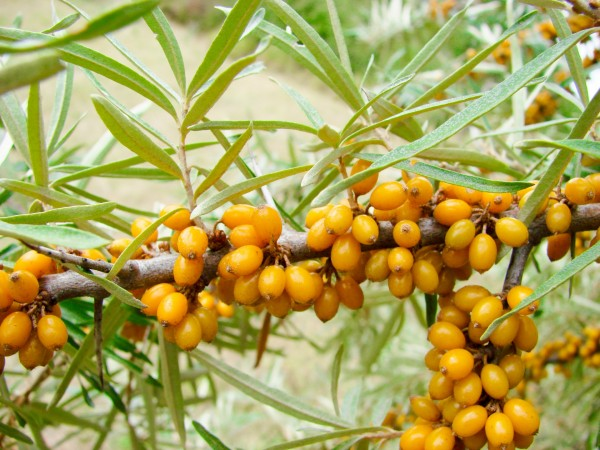 sea buckthorn berries risk heart disease stroke omega oil good cholesterol