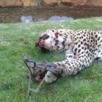 Another gin trap casualty: threatened leopard needlessly killed