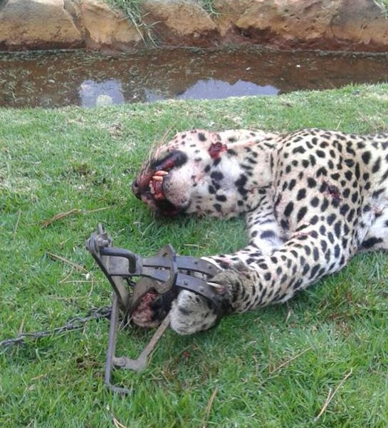 gin trap casualty threatened leopard needlessly killed