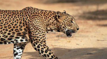 Gin trap leopard death a tragic case of self-defense