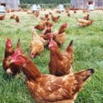 Sodexo's 100% cage-free commitment a victory for SA hens