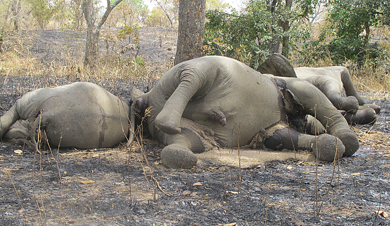 elephant_missing-face-europe-africa-slaughter-endangered3