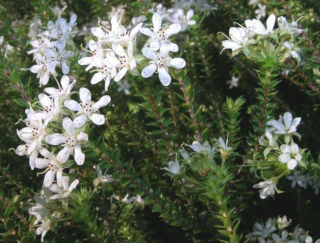 agathosma buchu south african healing medicinal plants