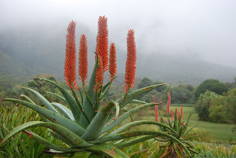 aloe ferox south african healing medicinal plants