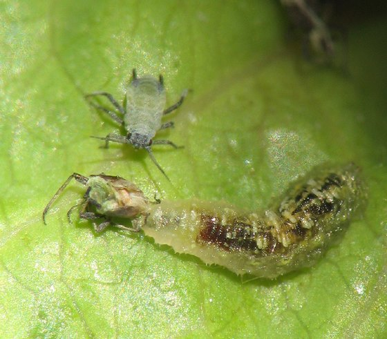 beneficial insects Syrphus hoverfly larva aphids