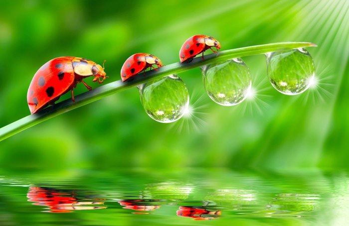 beneficial insects ladybirds