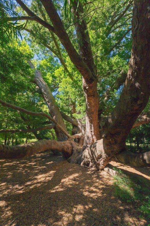 8-vergelegen-ancient-yellowwood-tree