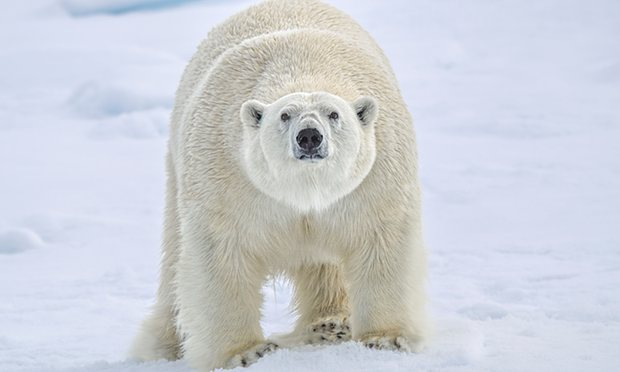 polar-bear-arctic-svalbard-scientists-besieged