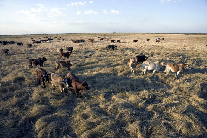 Livestock, Mwanachingwala Conservation Area, a significant area for the local people where they take their animals to graze, Kafue Flats, Zambia