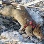 Giant rats are being trained to combat pangolin poaching in Africa