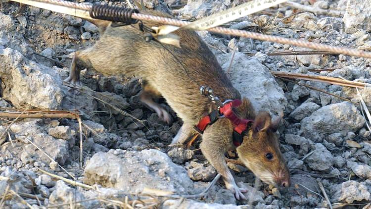african-giant-pouched-rat-sniffs-out-explosives-cambodia