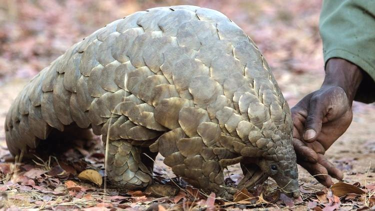 female-pangolin-game-reserve-zimbabwe