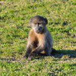 Why southern Africa's iconic baboon is on the decline