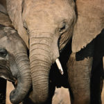 730,000 elephants missing from protected areas in Africa