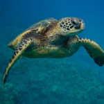 Why are our sea turtles getting smaller?