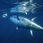 Bluefin tuna on the brink of extinction