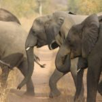 World Elephant Day: Ecologists join forces to save revered animal