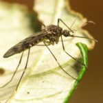 New research exposes health risks of GM mosquitoes and salmon