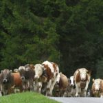 Livestock methane emissions underestimated according to new study